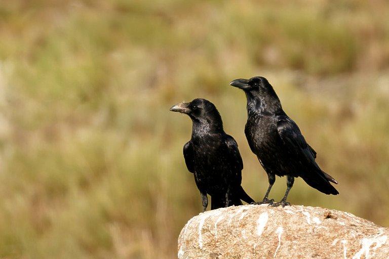 czarna-wrona