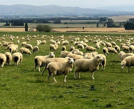 ania-starmach-owce