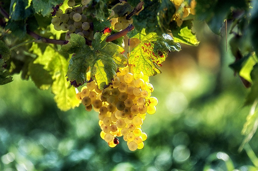 winogrona-biale-szampan